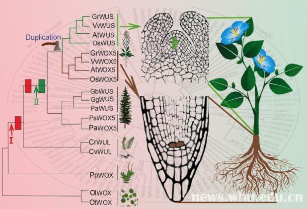 国际顶级期刊发表我校植物干细胞研究新成果